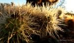 dew on Teddy Bear cactusspines