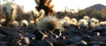 dewy Teddy Bear cactus baby on desert floor withstones
