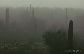 Saguaro cacti among the clouds