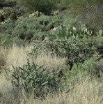cactus covered hillside