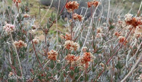dried delicate desert wildflowers