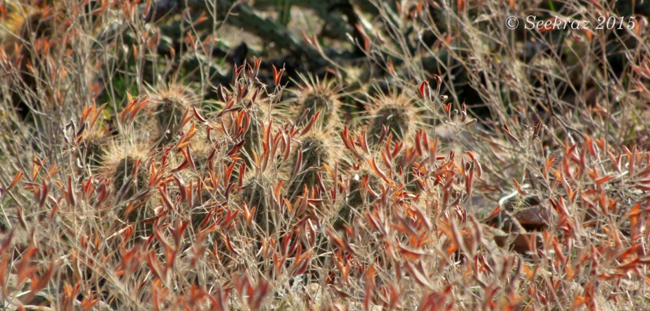 dried desert seed pods and hedgehog cactus