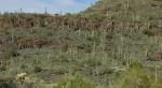saguaro cactus coveredhillside