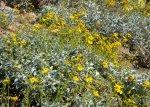 Brittlebush in bloom