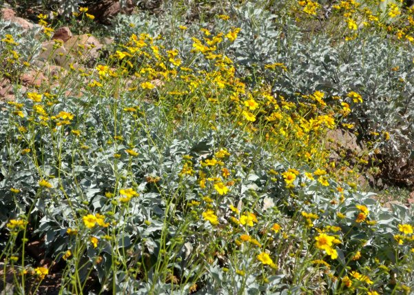 Brittlebush in bloom