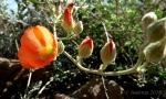Orange Desert Globe-mallow andbuds