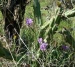 Desert Hyacinth andcactus