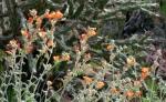 Desert Globe Mallowblooms