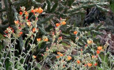 Desert Globe Mallow blooms