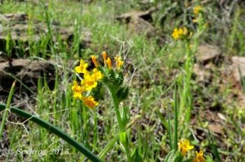 Little yellow wildflowers