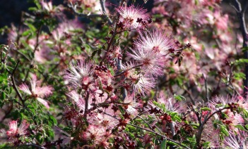 Pink Fairy-duster blossoms