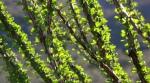 New Spring leaves on Ocotillo Cactusstalks