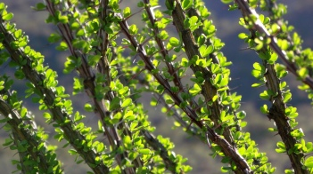 New Spring leaves on Ocotillo Cactus stalks