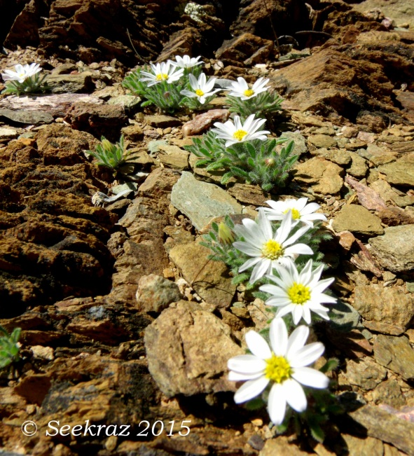 Desert Daisy or some kind of aster-type wildflowers