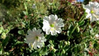 White desert wildflowers