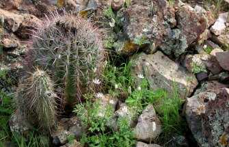 White star wildflowers with barrel and hedge-hog cacti