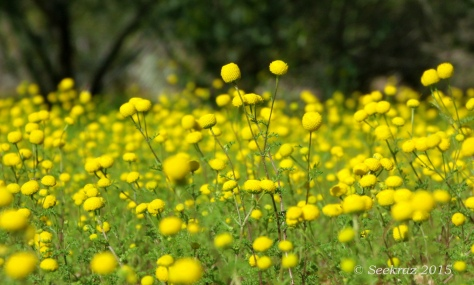 Yellow desert globe-shaped wildflowers
