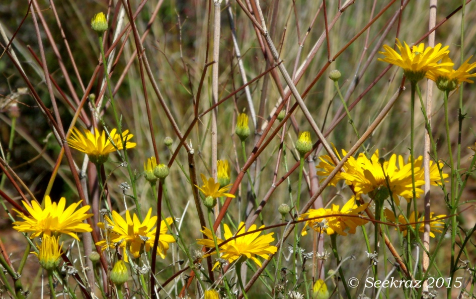 Yellow wildflowers with buds