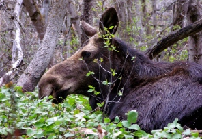 Cow moose in Little Cottonwood Canyon, April 2012