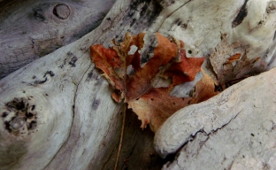 Drift-wood and leaf in Little Cottonwood Canyon