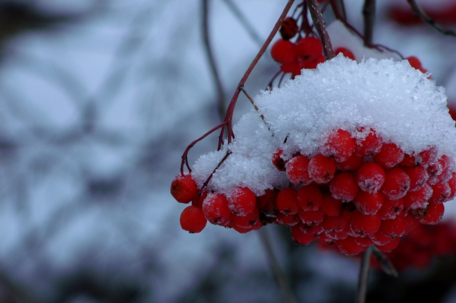 Mountain Ash berries with snow-cap