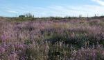 Arizona purple wildflowers1