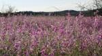 Arizona purple wildflowers3