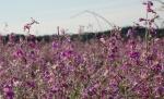Arizona purple wildflowers4