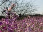 Arizona purple wildflowers5