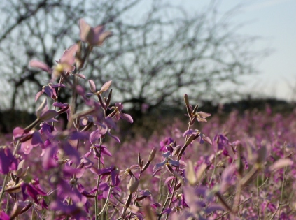 Arizona purple wildflowers 5
