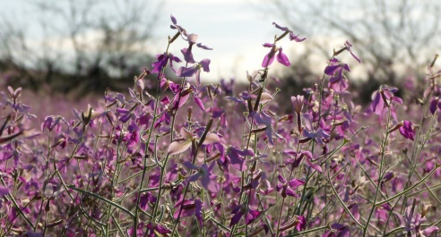 Arizona purple wildflowers 6