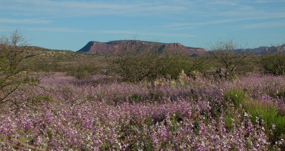 Arizona purple wildflowers 9