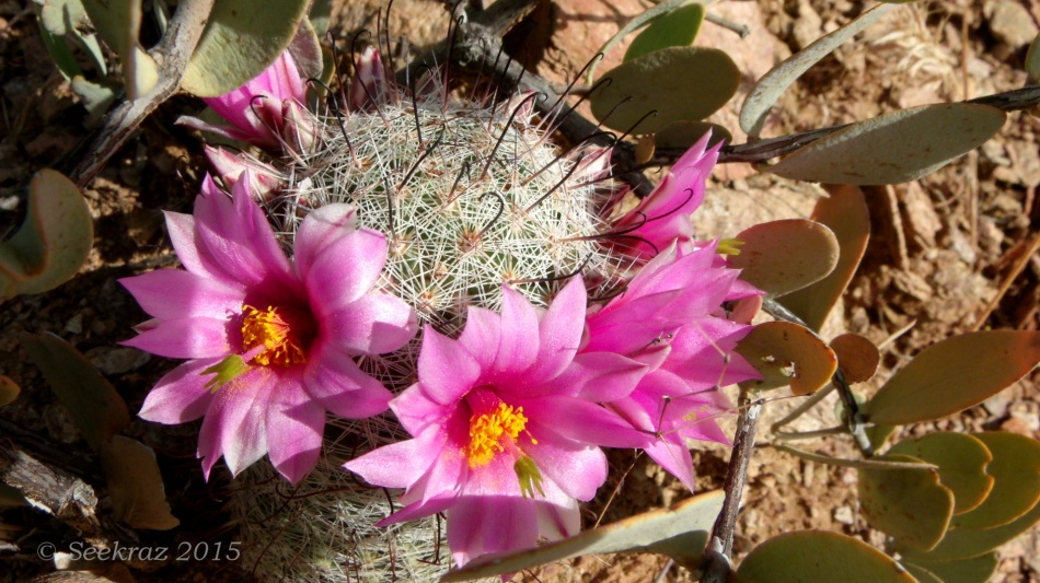 Graham's Pincushion Cactus blossoms