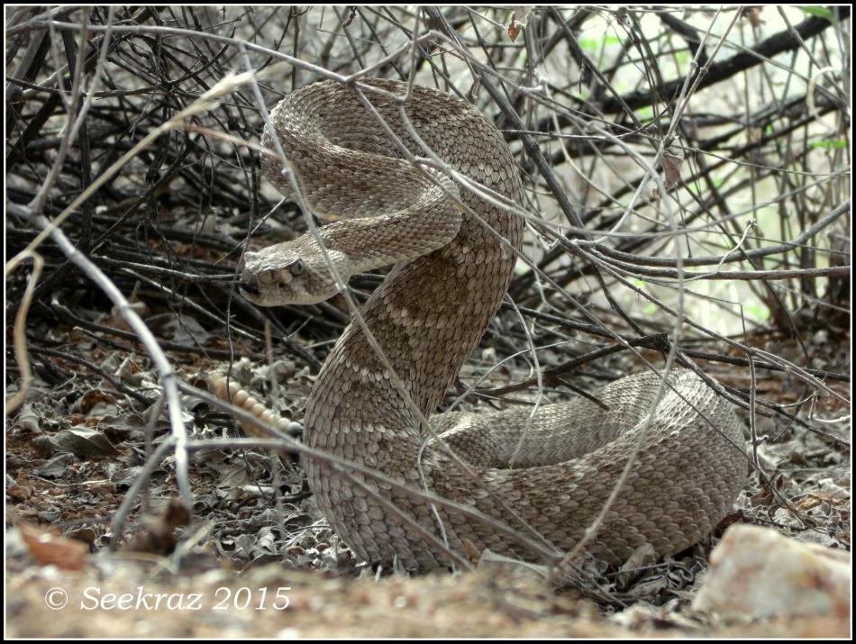 Western Diamondback Rattlesnake from Black Canyon Trail
