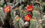 Sycamore Canyon Hedgehog Cactusblossoms