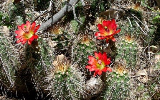Sycamore Canyon Hedgehog Cactus blossoms