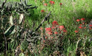 Sycamore Canyon Indian Paintbrush and miscellaneous cacti