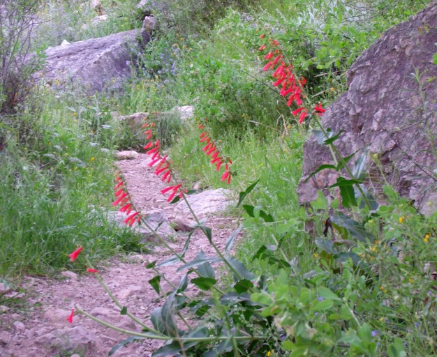 Sycamore Canyon wildflowers 2