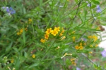Sycamore Canyon wildflowers4