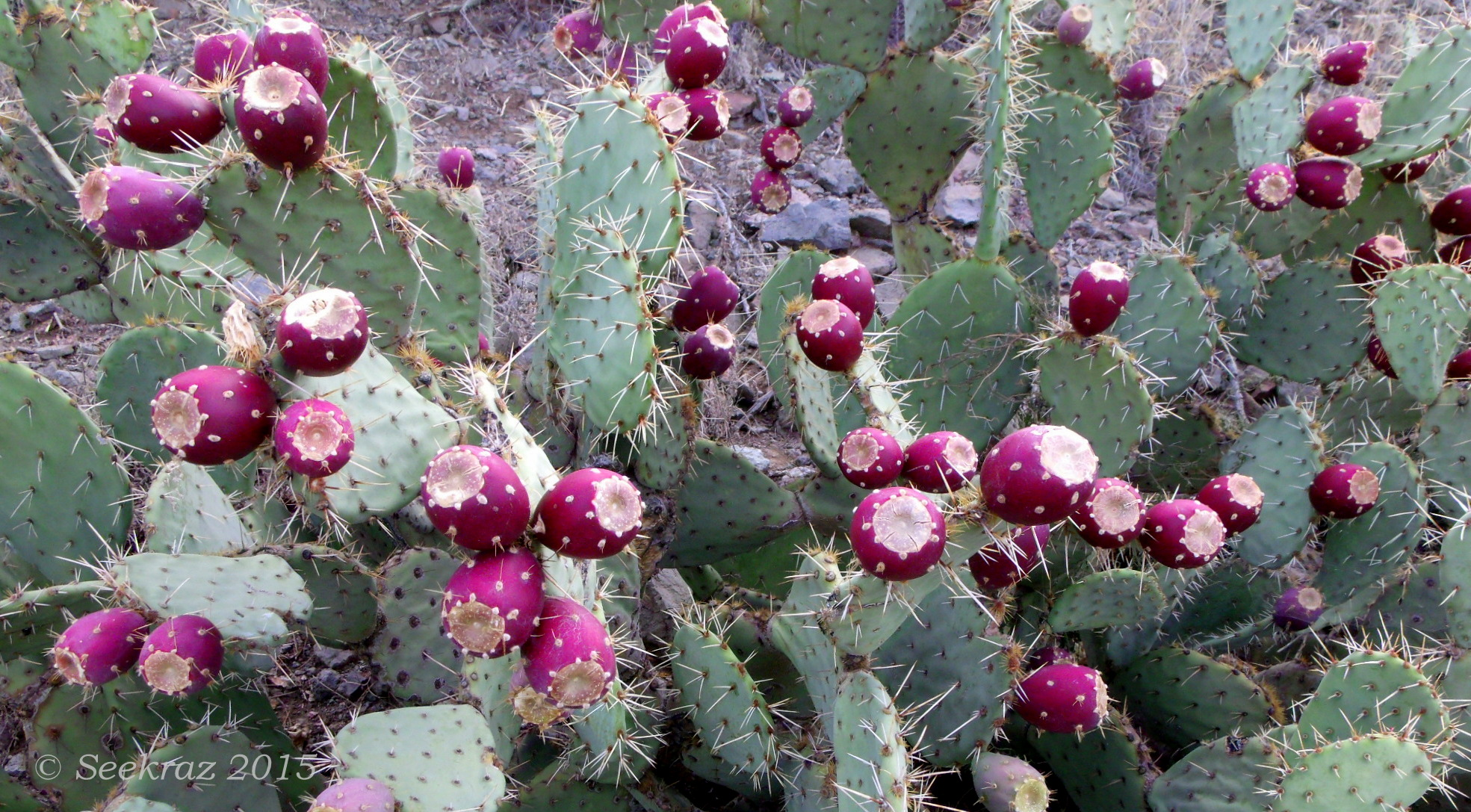 """Prickly Pear """"In-sight"""" 