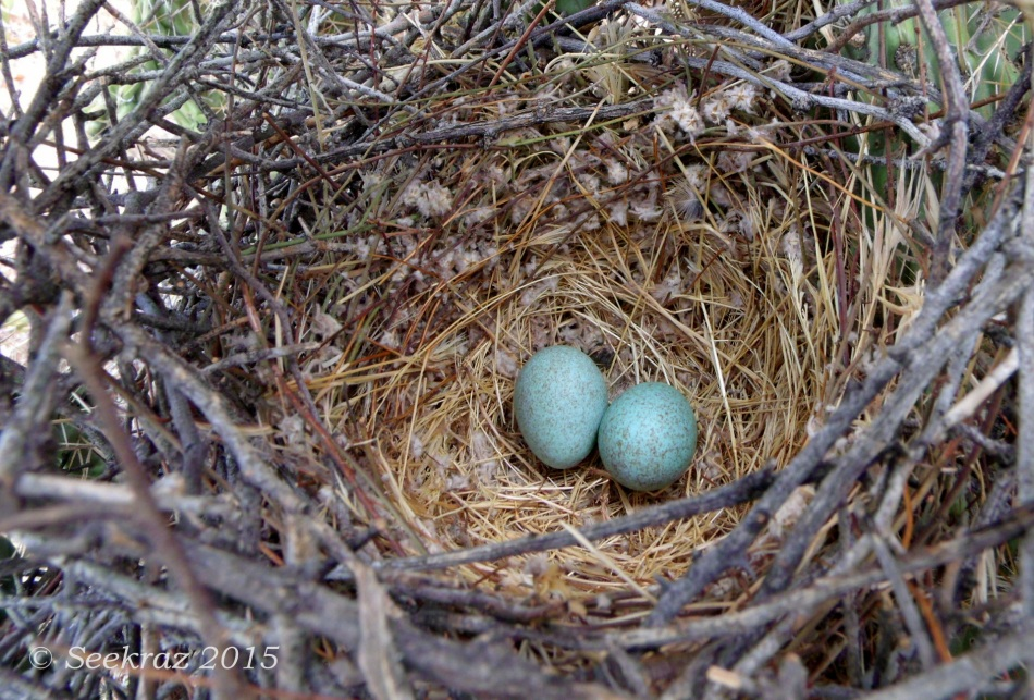 Cactus Wren's eggs in nest