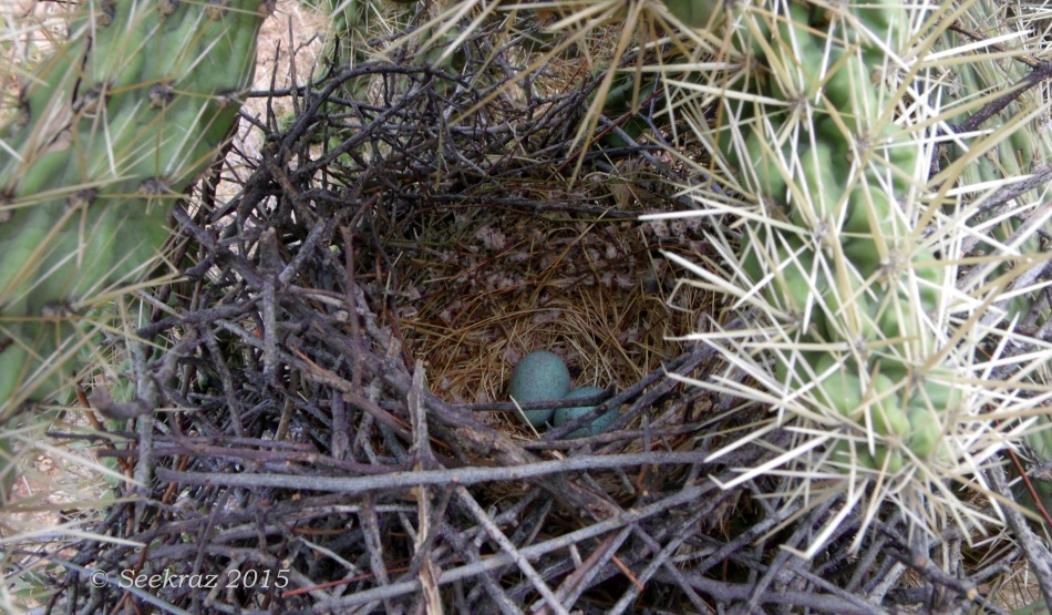 Cactus Wren's nest in Cholla cactus