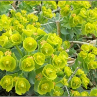 Myrtle Spurge...and moments of a day....