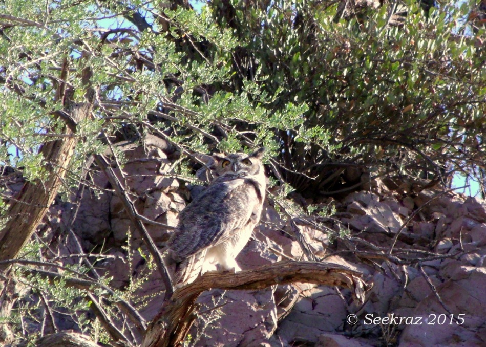 Great Horned Owl second