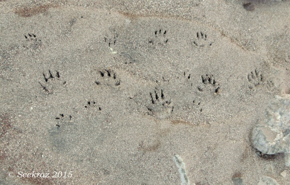 Raccoon foot and handprints