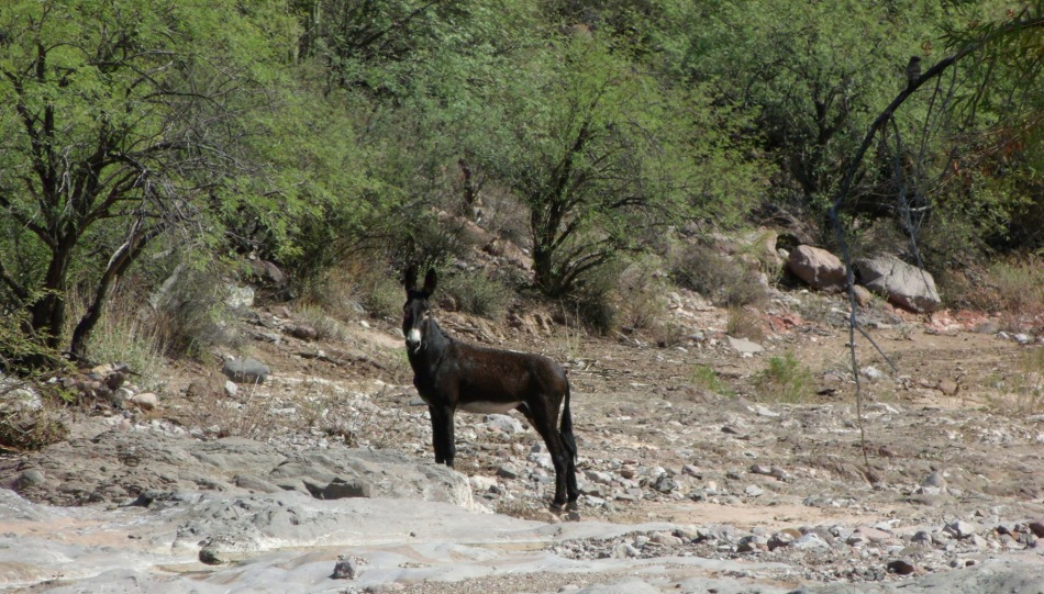Wild Burro in Cottonwood Creek