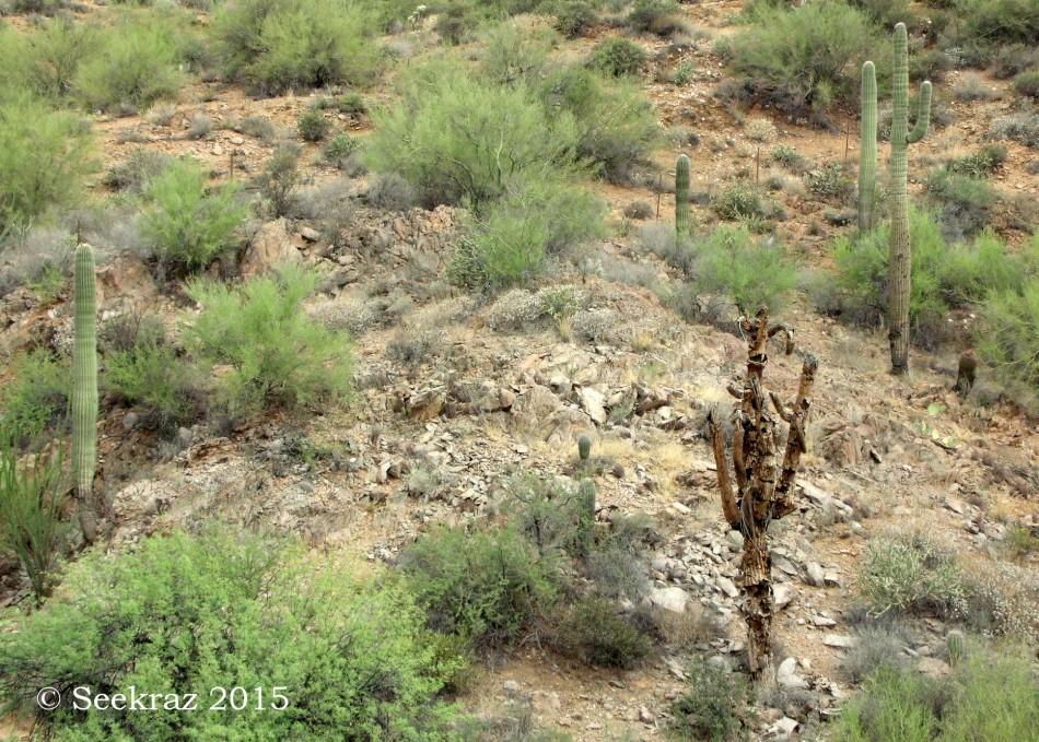 Walking Dead Saguaro