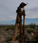 Another Saguaro zombie at White Tank Mountains