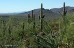 Classic Sonora Desertperspective
