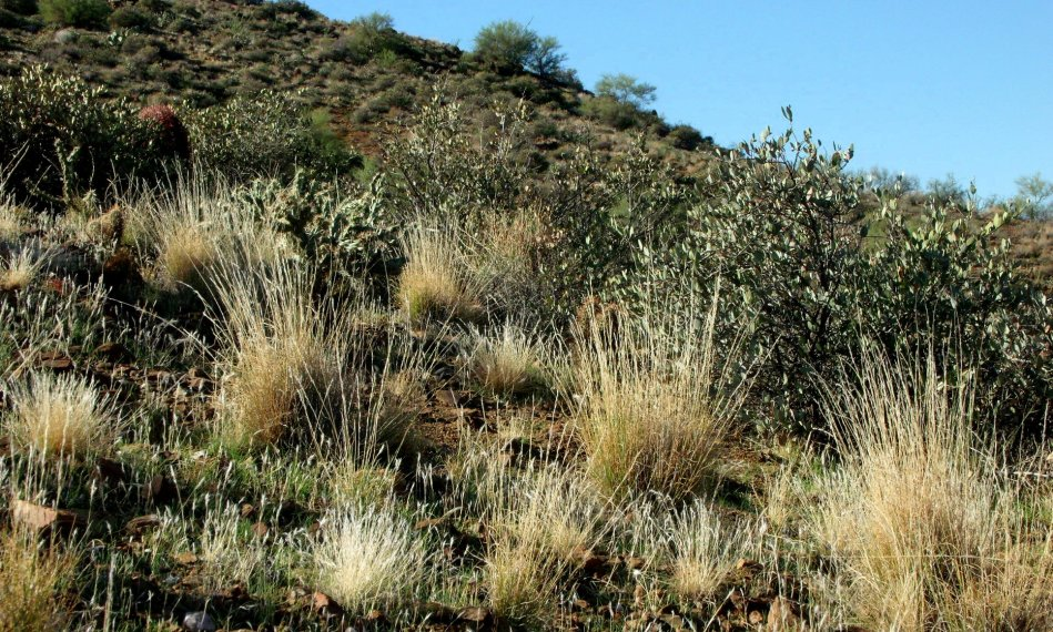 Desert hillside grasses and Jojoba